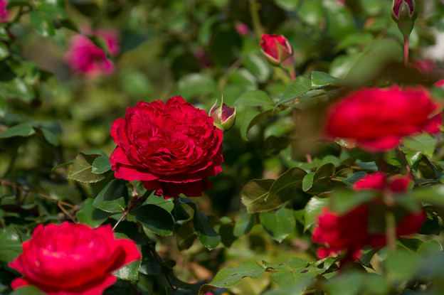 【京成バラ園(薔薇:レッド・レオナルド・ダ・ビンチ)】