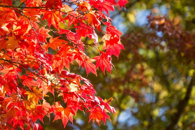 日本庭園の紅葉(6_3)