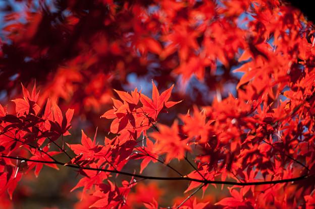 【六義園の紅葉】1_5