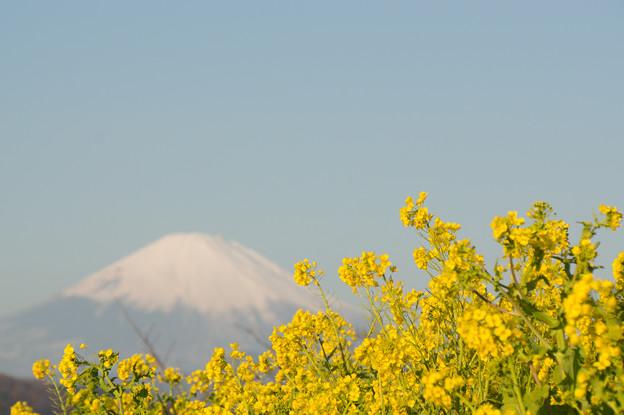 吾妻山公園【富士山と菜の花】2