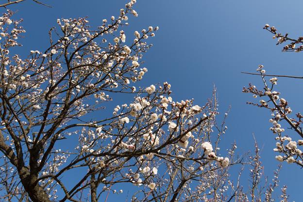 小田原フラワーガーデン【梅:八重野梅】1
