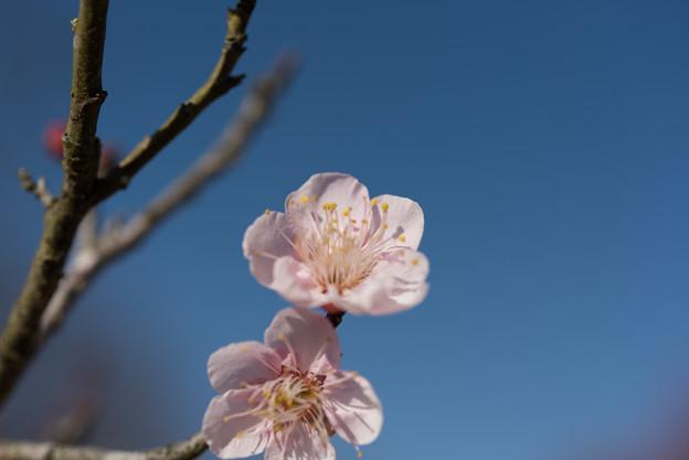 小田原フラワーガーデン【梅:紅冬至】4