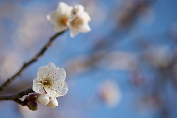 小田原フラワーガーデン【梅:古城の春】4