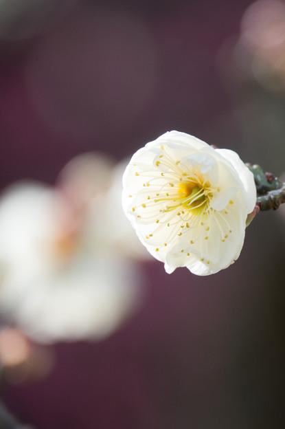 大船植物園【梅:玉牡丹】5