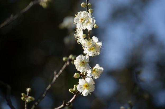 大船植物園【梅:月の桂】1