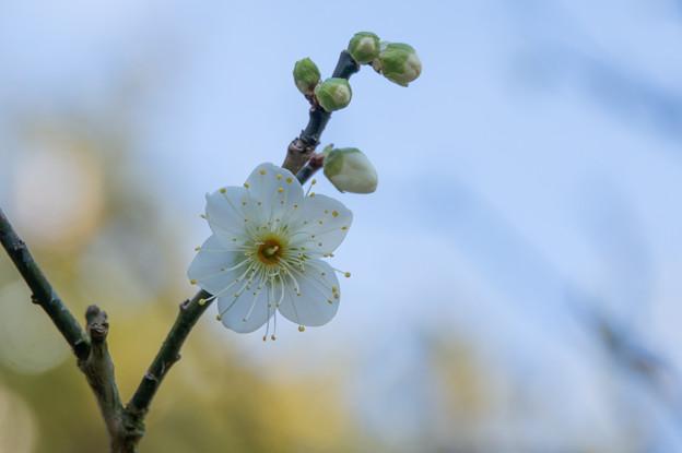 大船植物園【梅:月の桂】5
