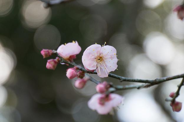 大船植物園【梅:道知辺】3