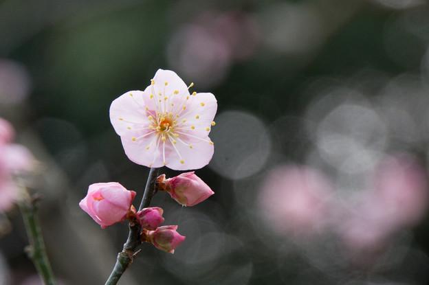 大船植物園【梅:道知辺】4