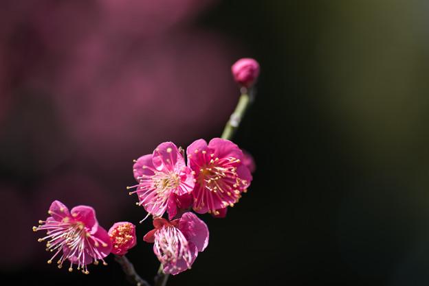 大船植物園【梅:大盃】5