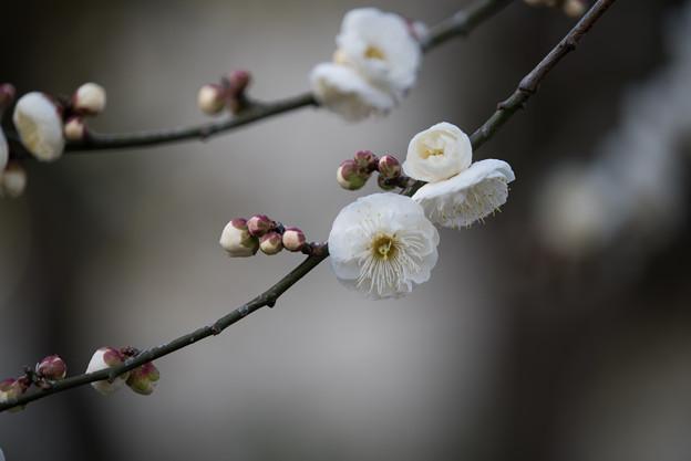 大船植物園【梅:八重茶青】2