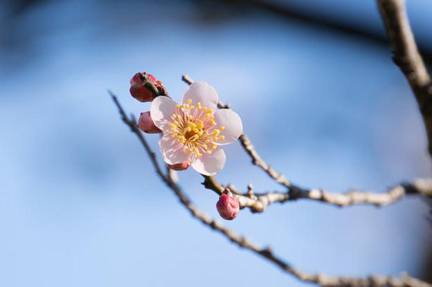 神代植物公園【梅:雲の曙】