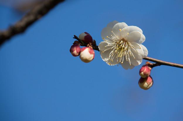 神代植物公園【梅:八重海棠】