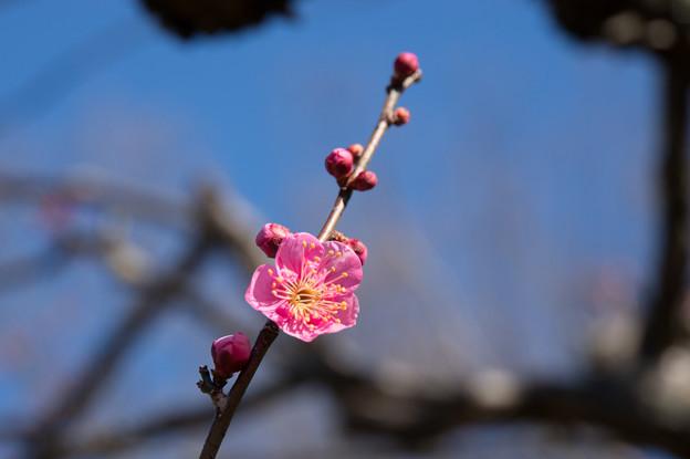 神代植物公園【梅:紅鶴】2