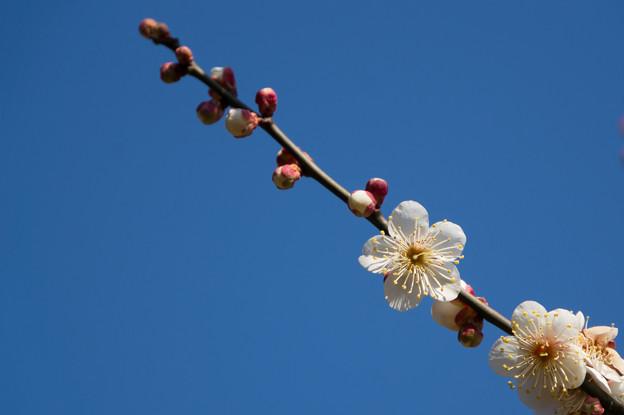 神代植物公園【梅:冬至】