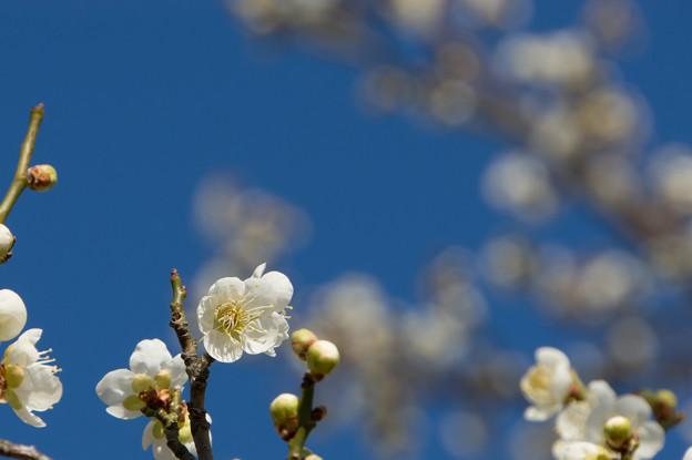 小田原フラワーガーデン【梅:一重緑萼】2