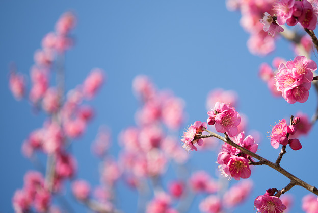 小田原フラワーガーデン【梅:紅鶴】4