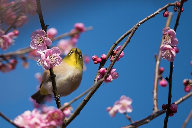 小田原フラワーガーデン【梅の花とメジロ】3