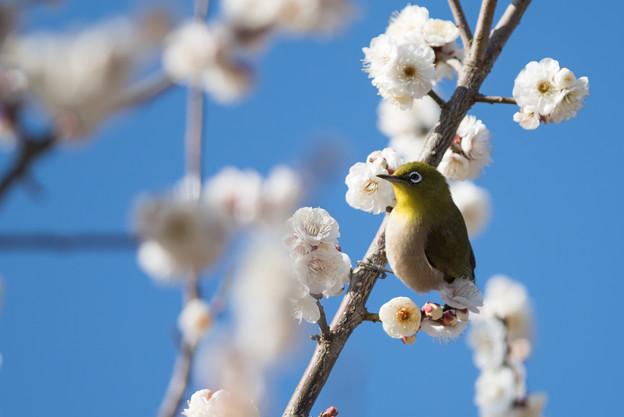 小田原フラワーガーデン【梅の花とメジロ】4
