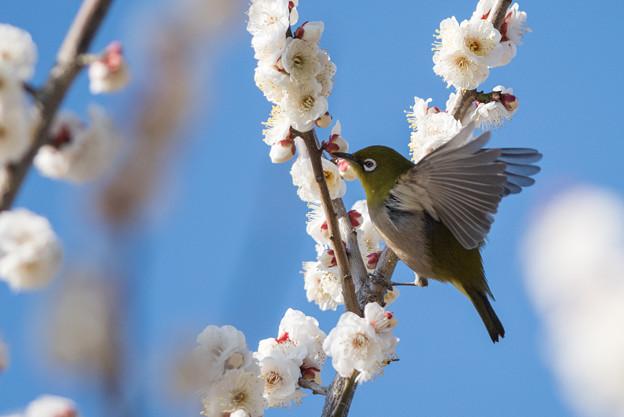 小田原フラワーガーデン【梅の花とメジロ】5