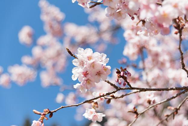 新宿御苑【寒桜】3