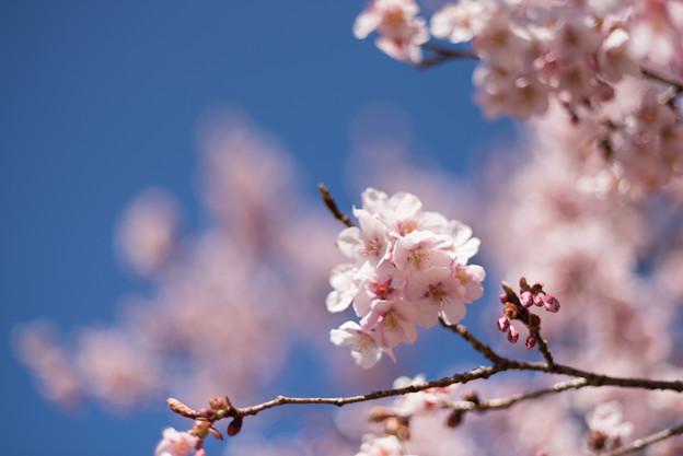 新宿御苑【寒桜】4