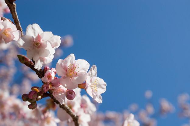 新宿御苑【寒桜】6