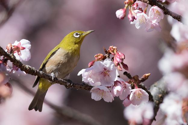 新宿御苑【寒桜とメジロ】6