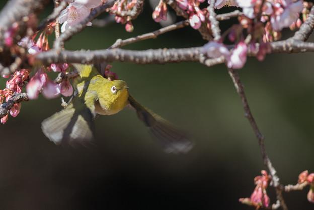 新宿御苑【寒桜とメジロ】9