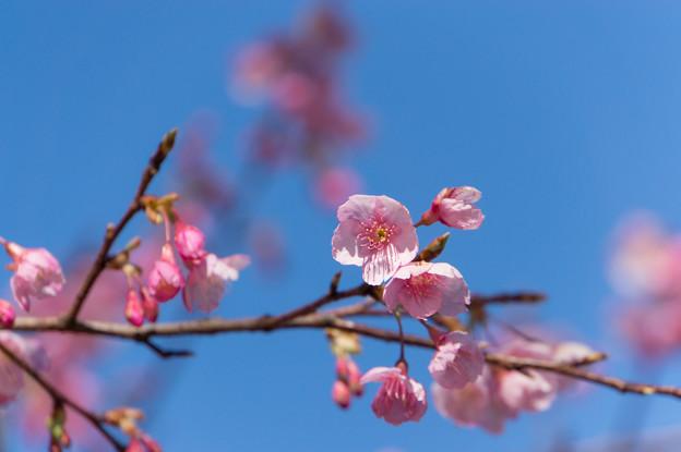 皇居東御苑【琉球寒緋桜】1