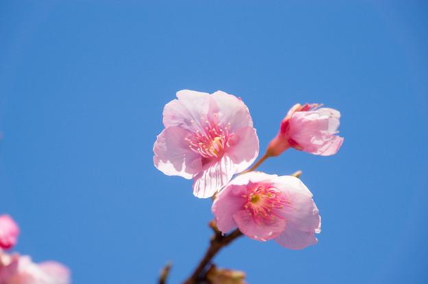 皇居東御苑【琉球寒緋桜】3