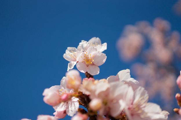 皇居東御苑【寒桜】5