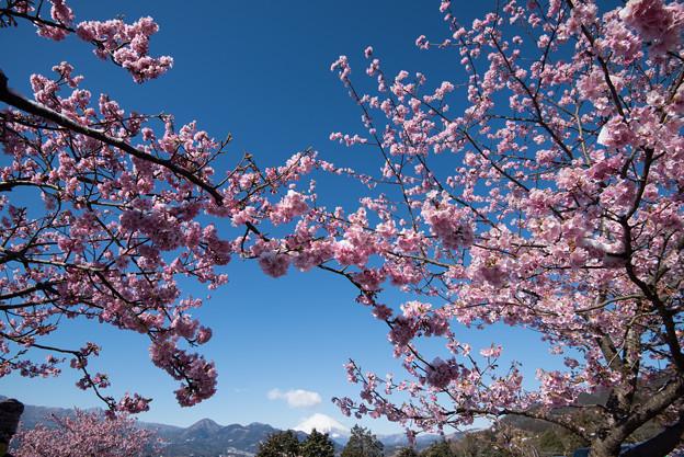 松田山【河津桜と富士山】1