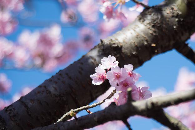 松田山【河津桜】3