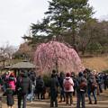 大倉山梅林【この日の一番人気の枝垂梅】