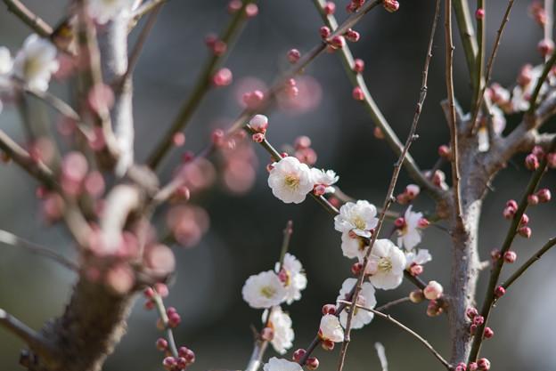 大倉山梅林【春日野】1