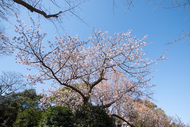 大船植物園【玉縄桜の大木】1