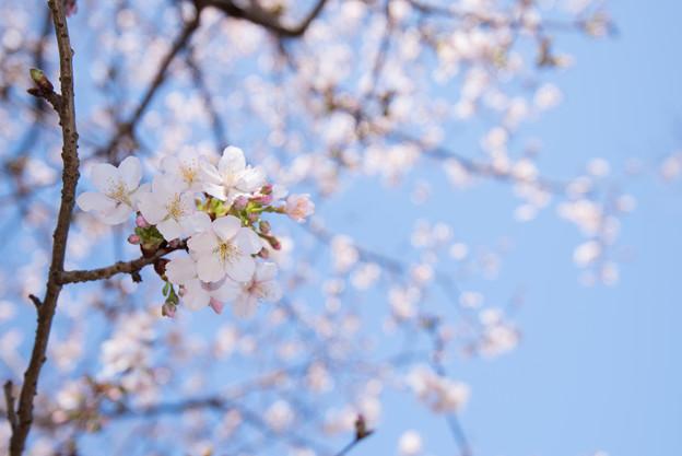 大船植物園【玉縄桜の大木】3