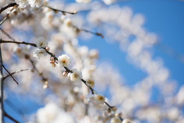 大船植物園【梅の花:高砂枝垂】2