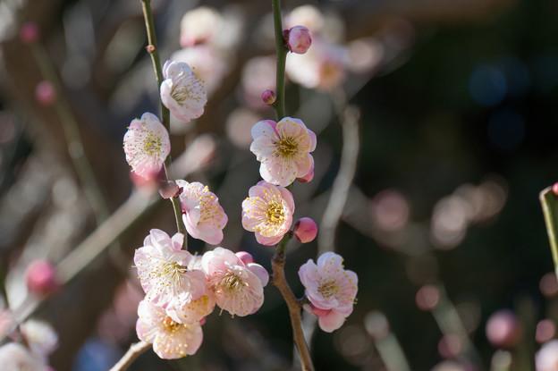大船植物園【梅の花:思いの儘】1