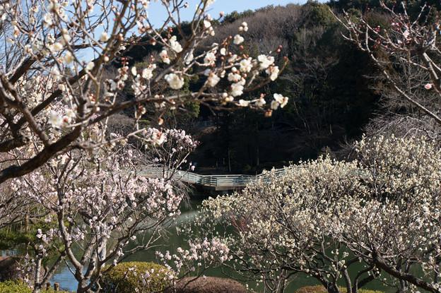 薬師池公園【梅林から見たタイコ橋】