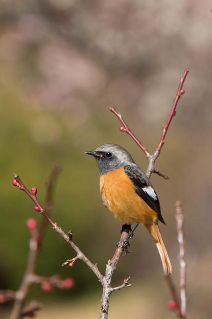 薬師池公園【薬師池の鳥:ジョウビタキ】2