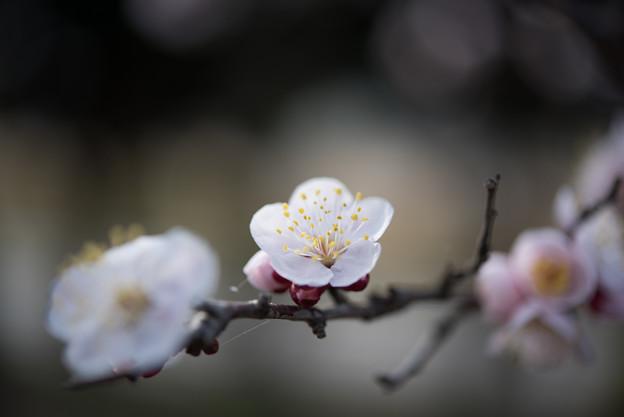 府中市郷土の森【梅:豊後】3
