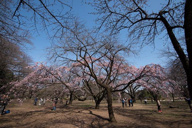 新宿御苑【大寒桜】1