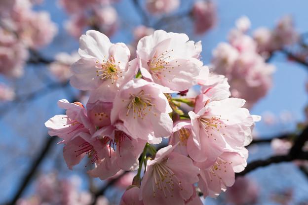 新宿御苑【大寒桜】4