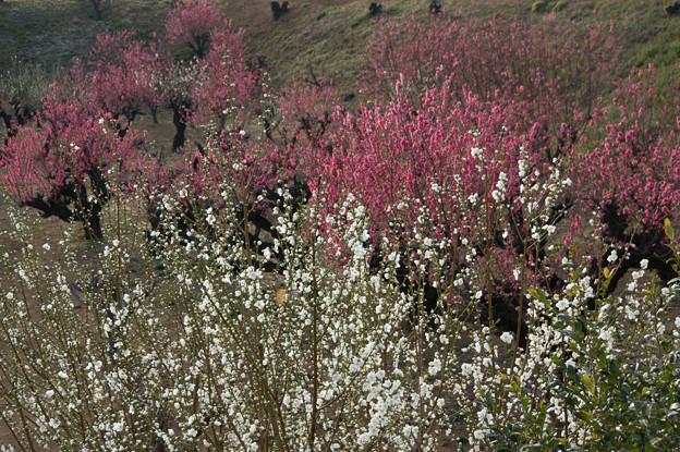 【花桃の丘の眺め】4