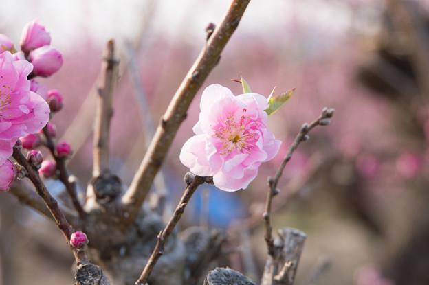 花桃の丘【ハナモモ】1