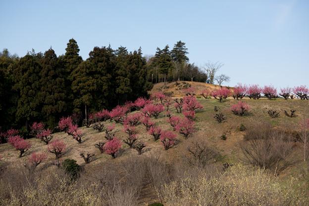 【花桃の丘の眺め】2