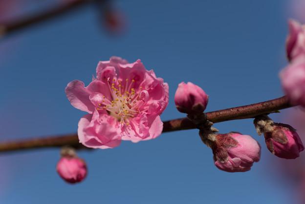 花桃の丘【ハナモモ】