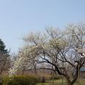 神代植物公園【ハナモモ:寒白】1