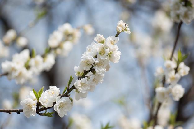 神代植物公園【ハナモモ:寒白】3
